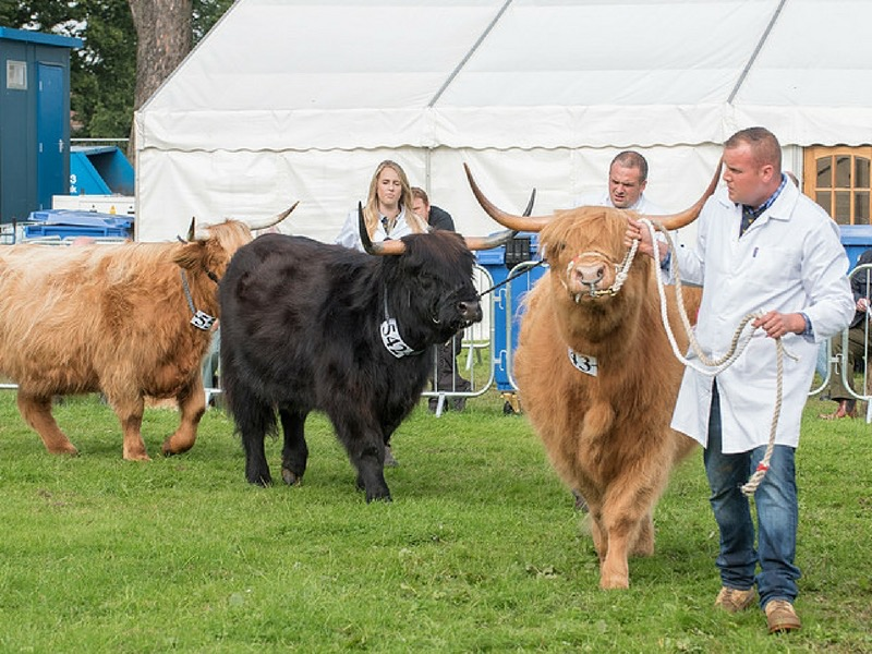 Highland Cattle at Perth Show showing brown and black cows